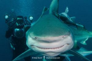 Blacktip Shark and diver