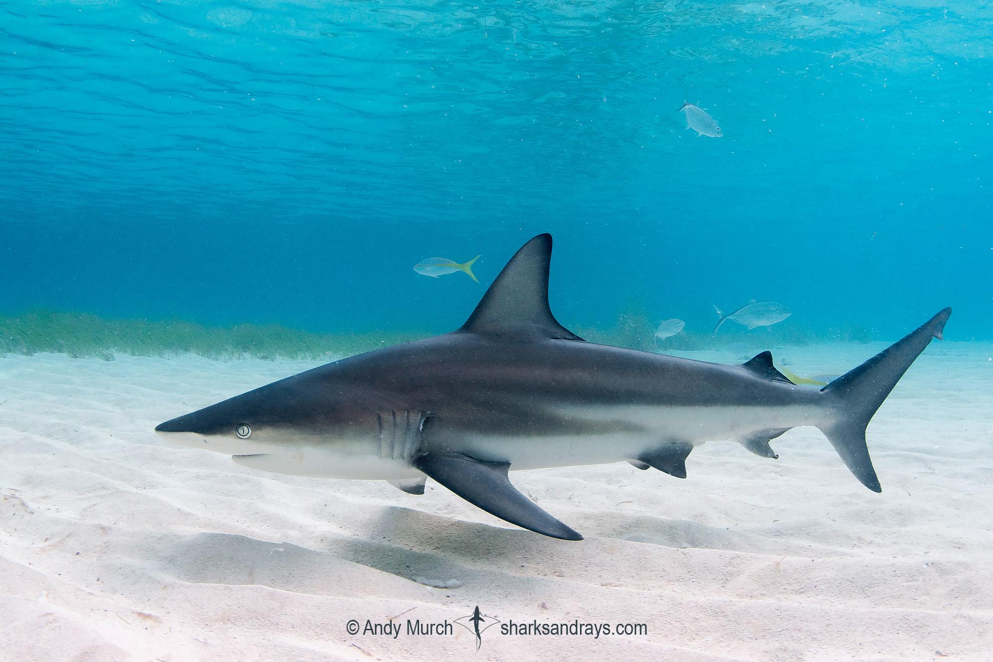 Caribbean Blacktip Shark
