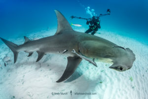 Great hammerhead and diver.