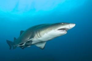 Sandtiger Shark floating