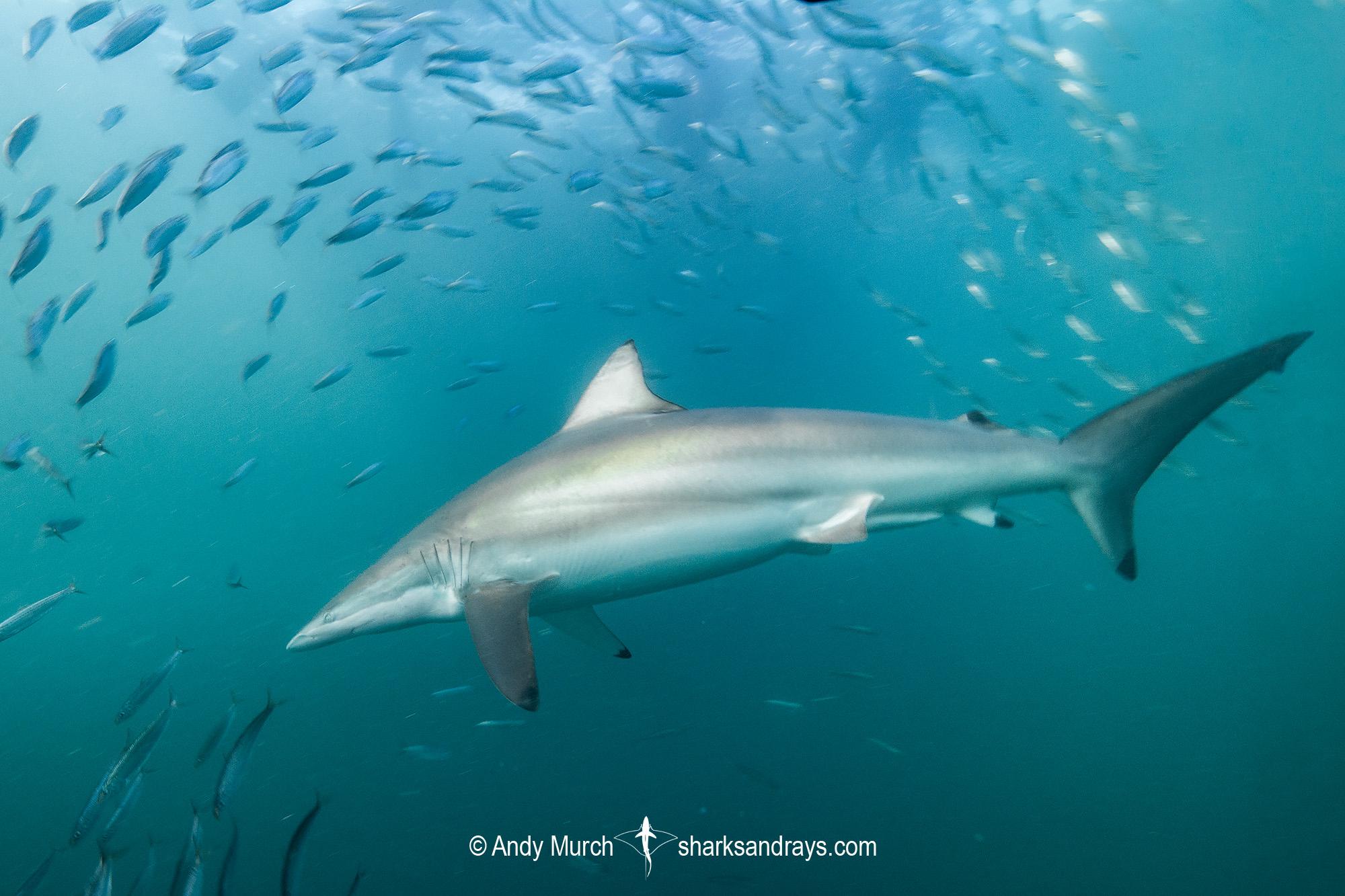 Spinner Shark