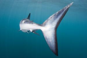 Shark Locomotion