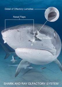 Shark olfactory system