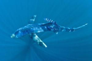 blue shark pectoral fins