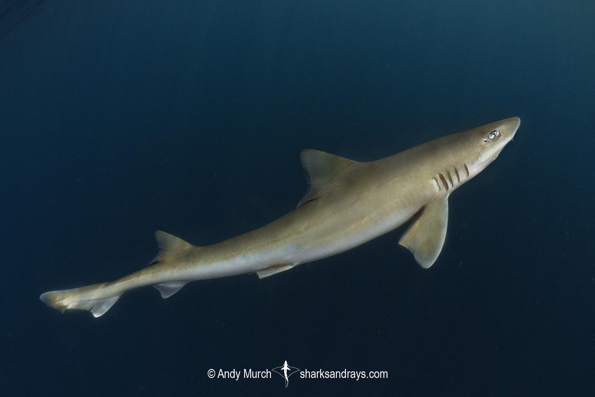 Brown Smoothhound Shark