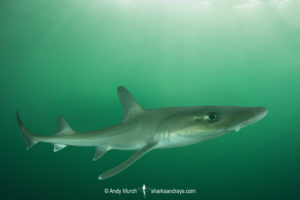 Dusky Smoothhound Shark