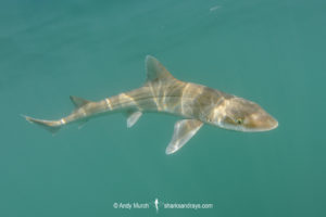 Gray Smoothhound Shark