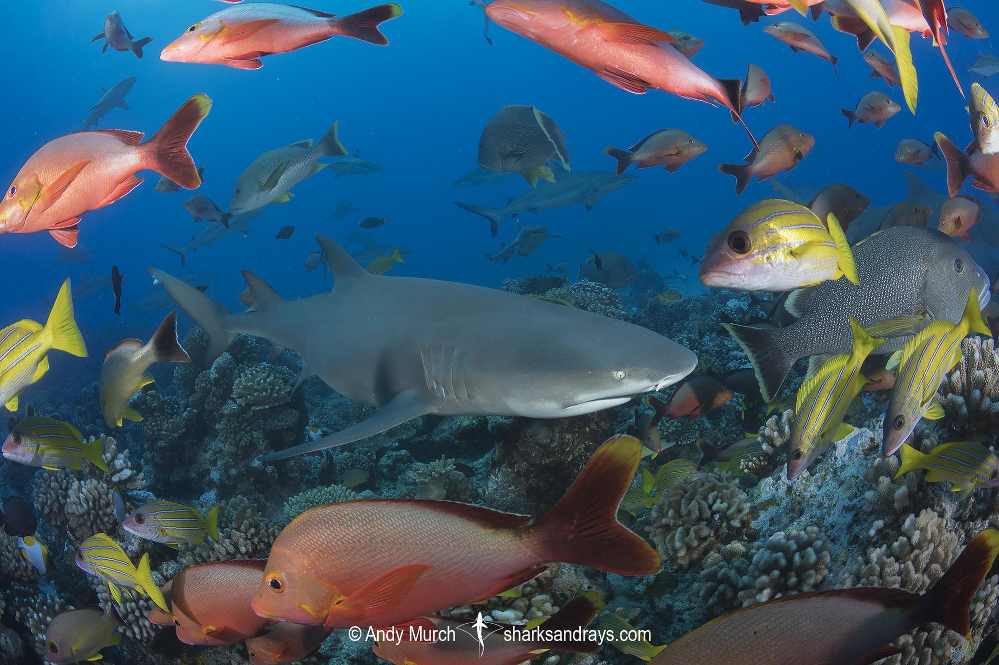 Sharptooth Lemon Shark