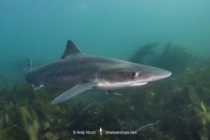 Tope Shark