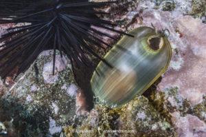 California Swellshark Egg Case