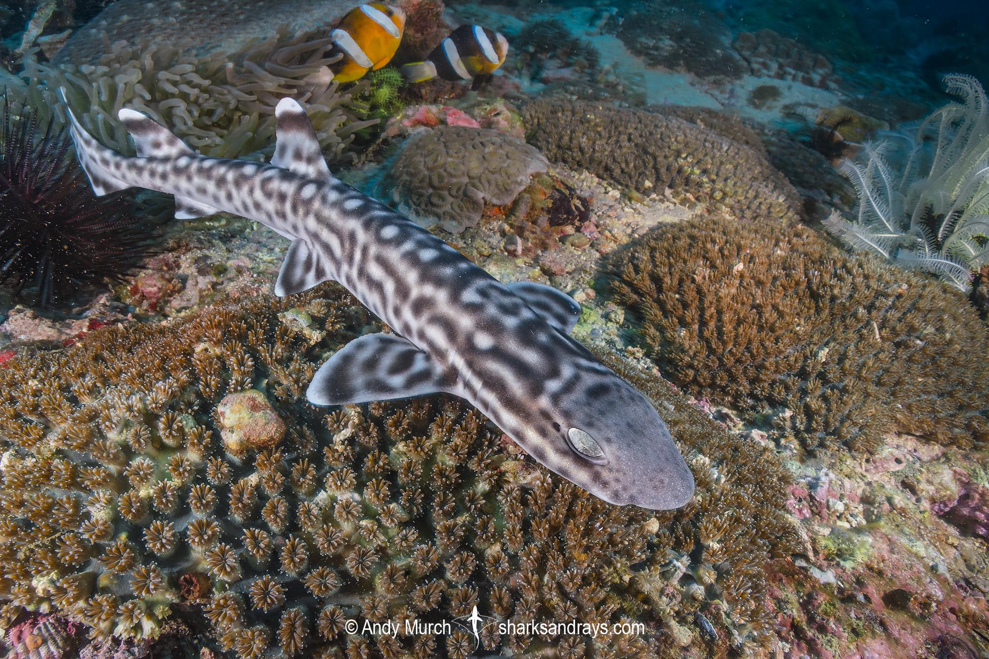 Coral Catshark