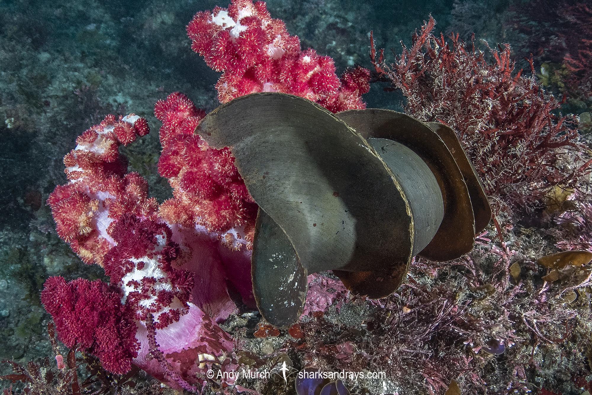 Japanese Bullhead Shark Egg Case