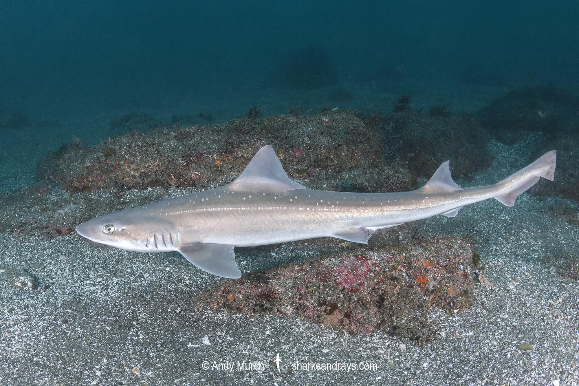 Starspotted Smoothhound Shark