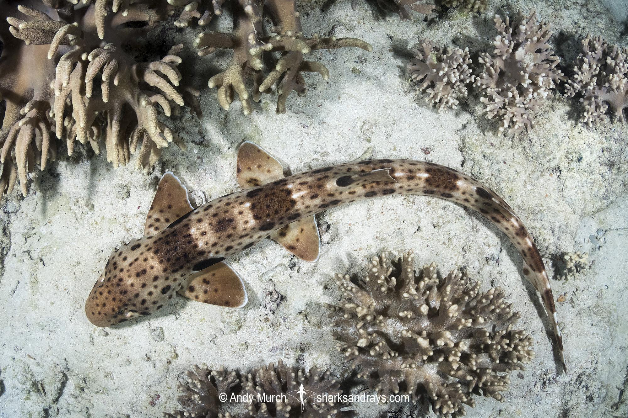 Triton Bay Epaulette Shark