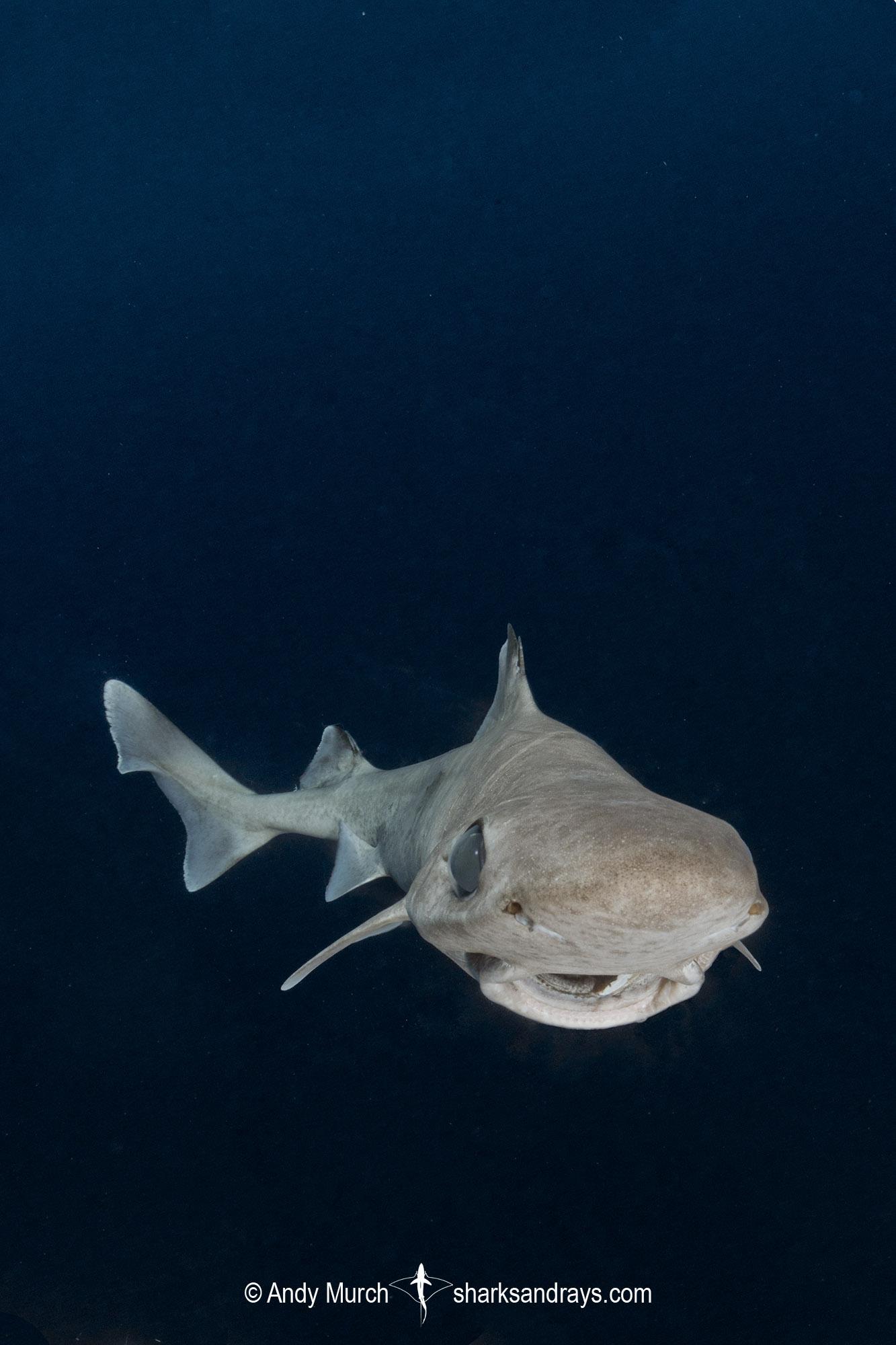 Blackfin Gulper Shark