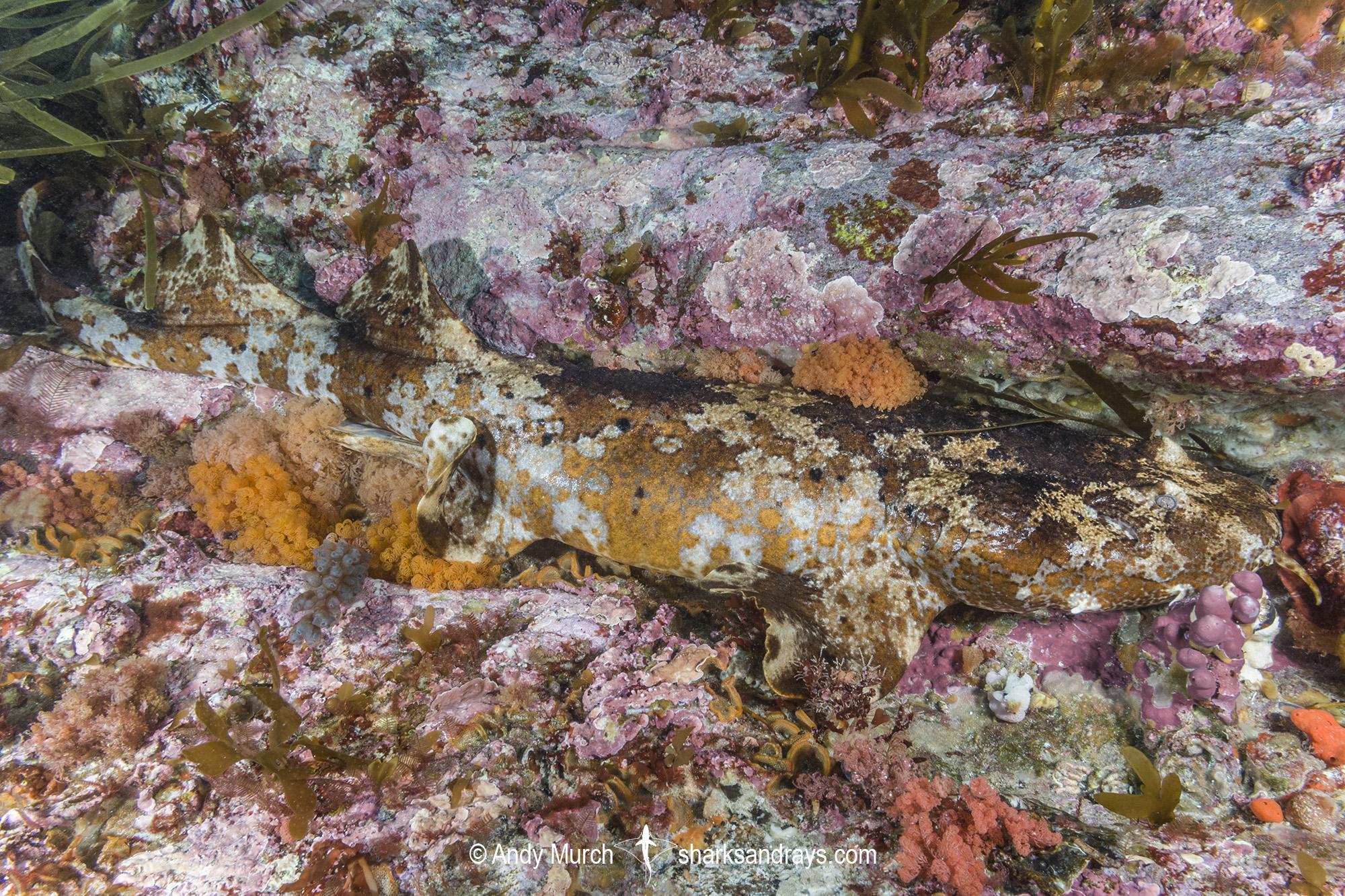 Cobbler Wobbegong