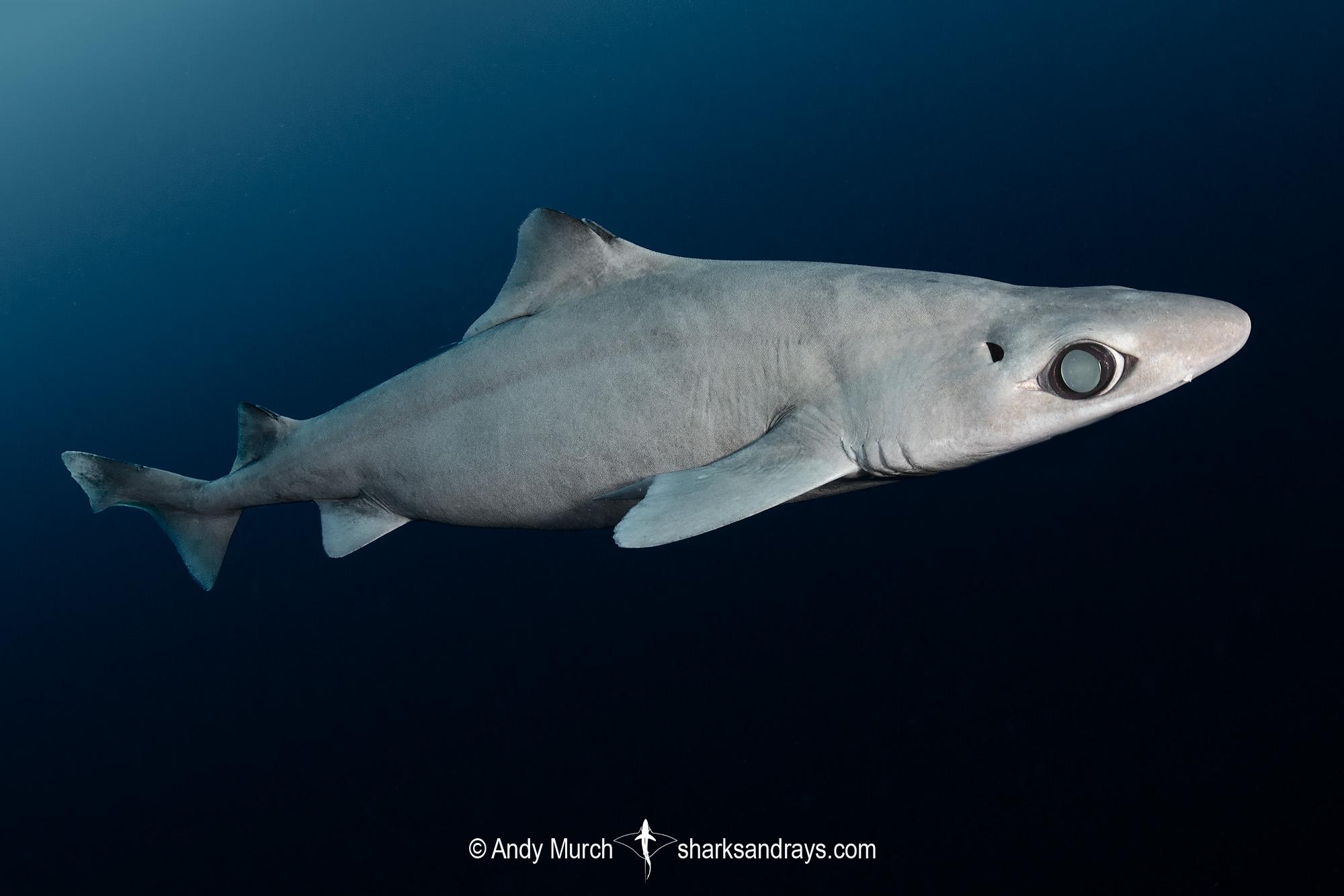 Little Gulper Shark