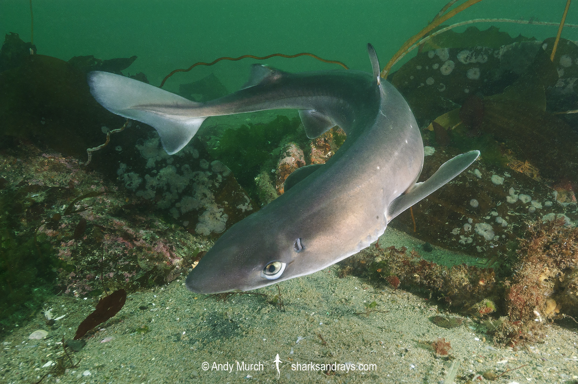 North Pacific Spiny Dogfish