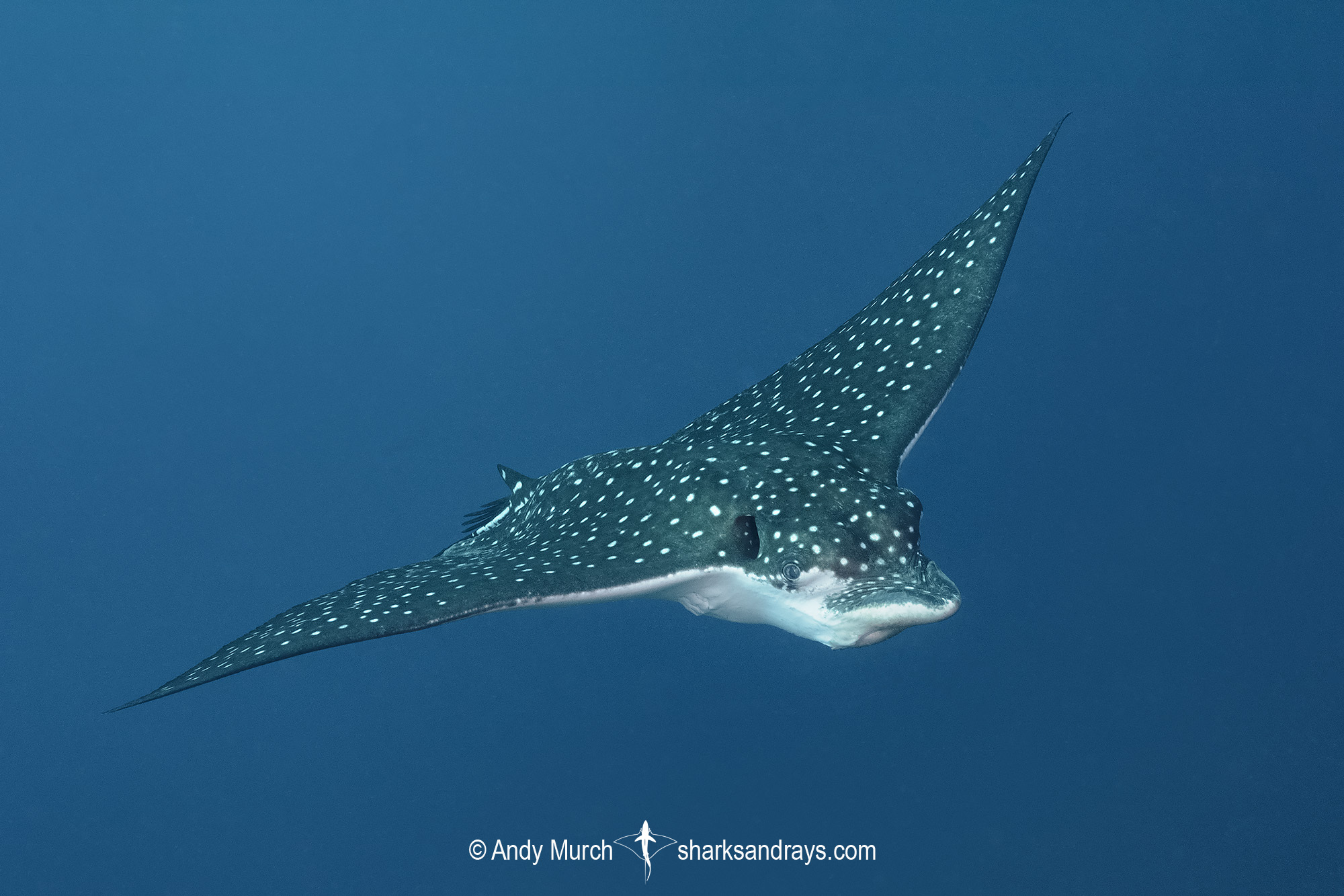 Ocellated Eagle Ray