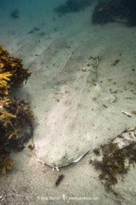 Pacific Angelshark