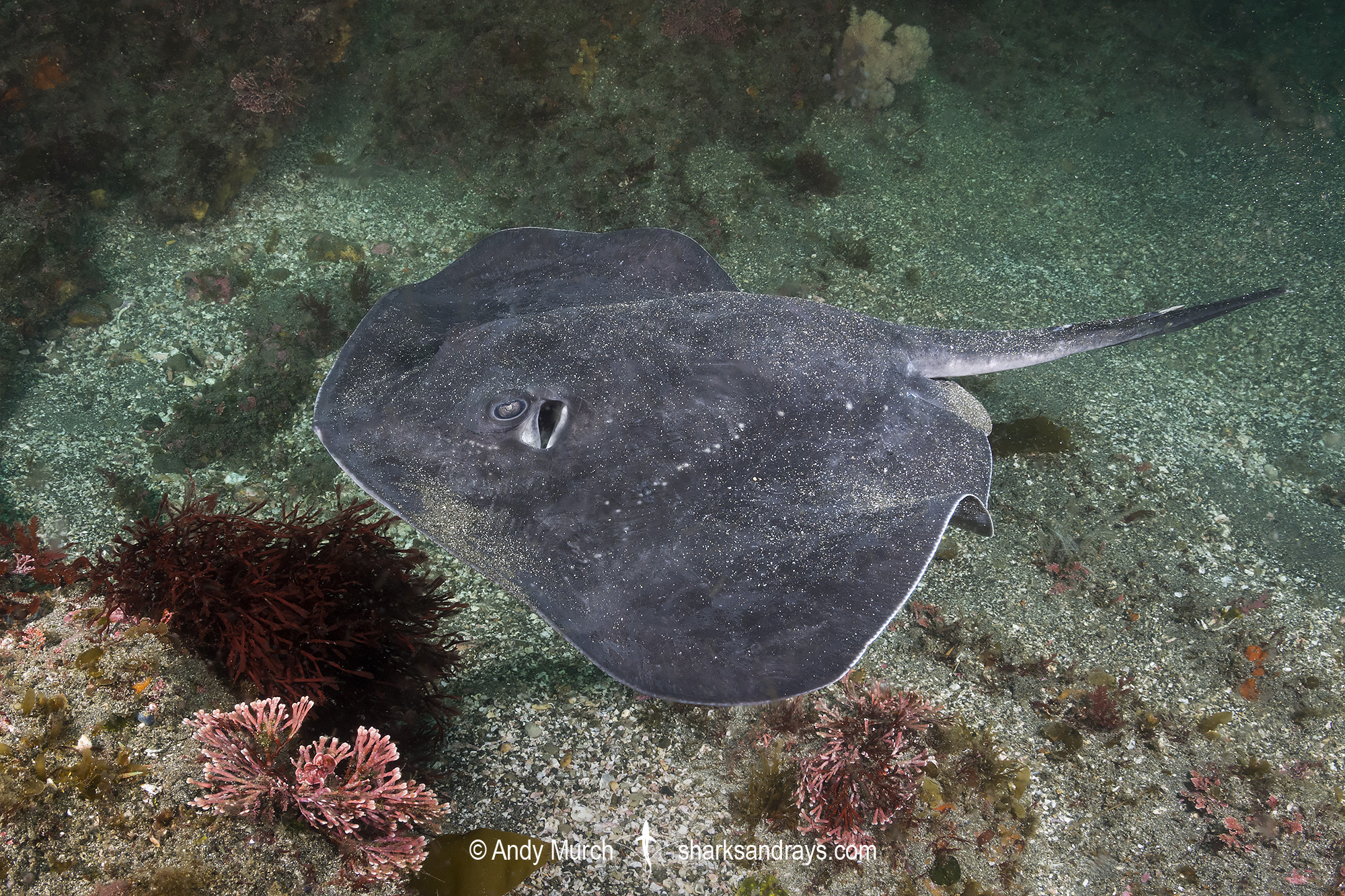Short-tail Stingray