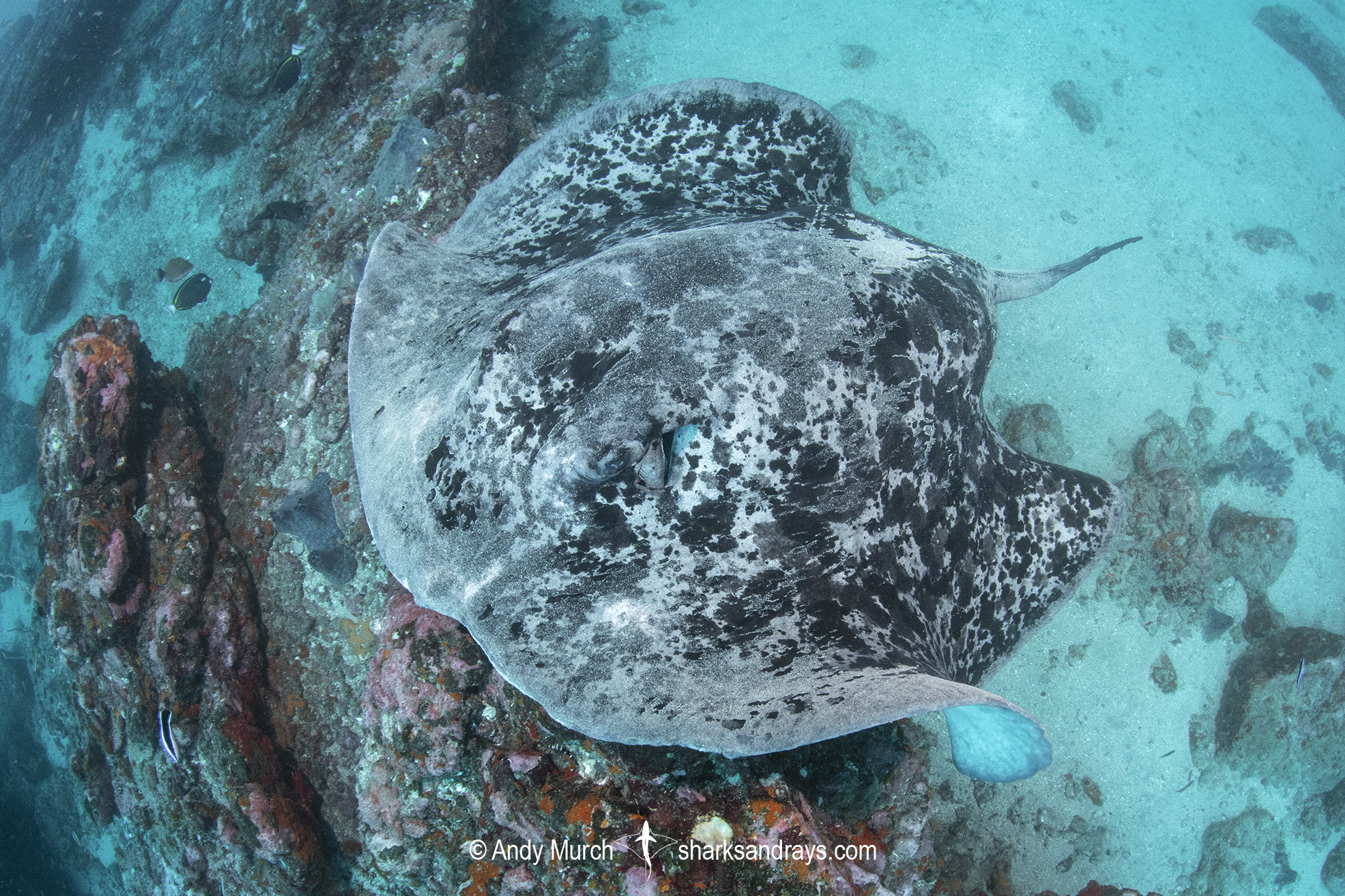 Blotched Fantail Ray