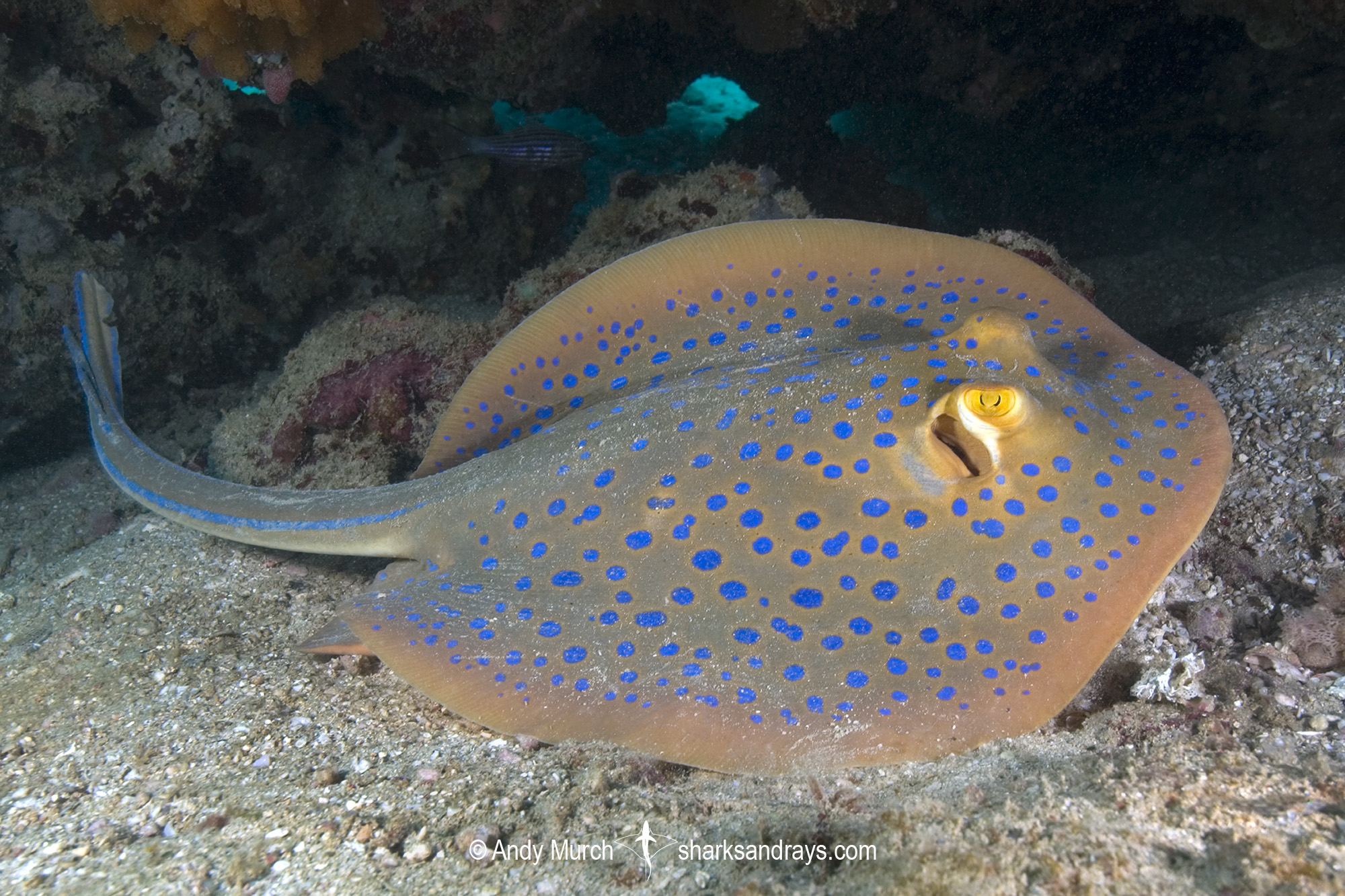 Bluespotted Fantail Ray