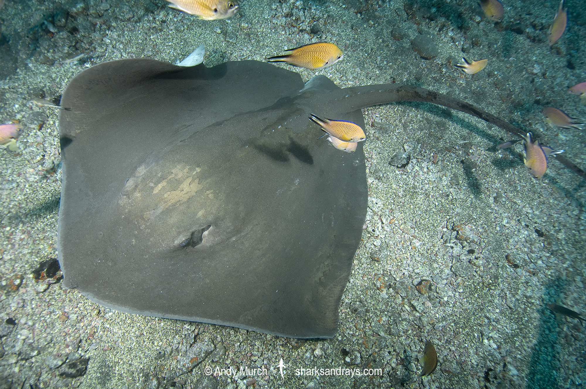 Brown Stingray