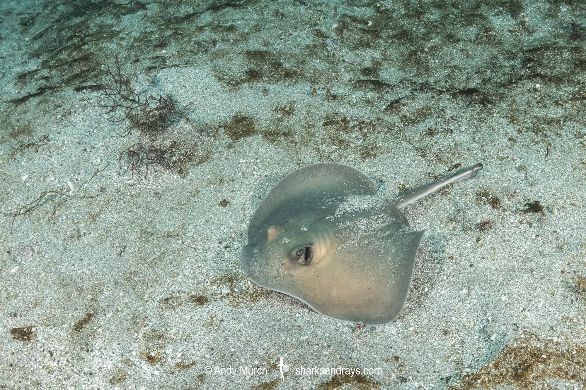 Diamond Stingray juvenile