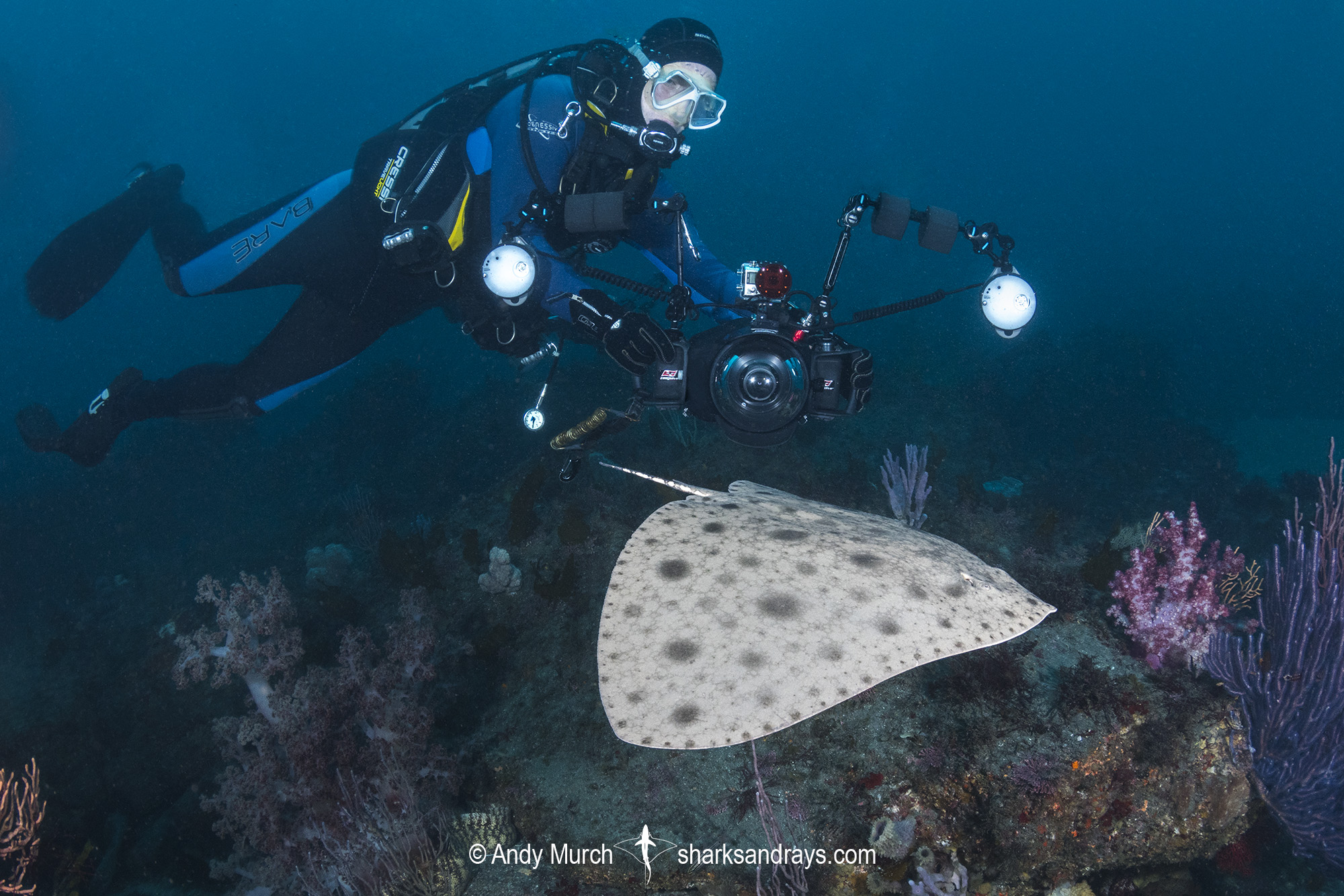 Japanese Butterfly Ray