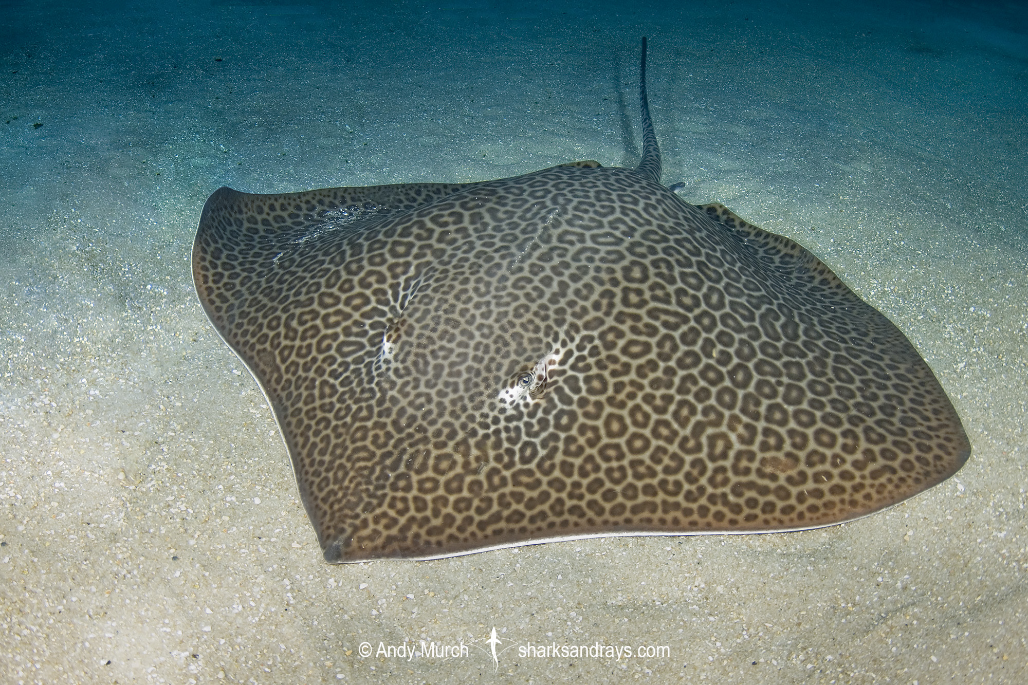 Leopard Whipray