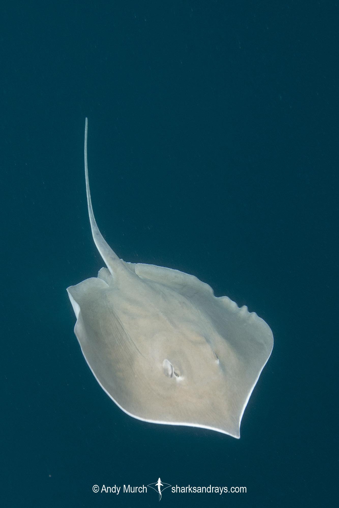 Longnose Stingray