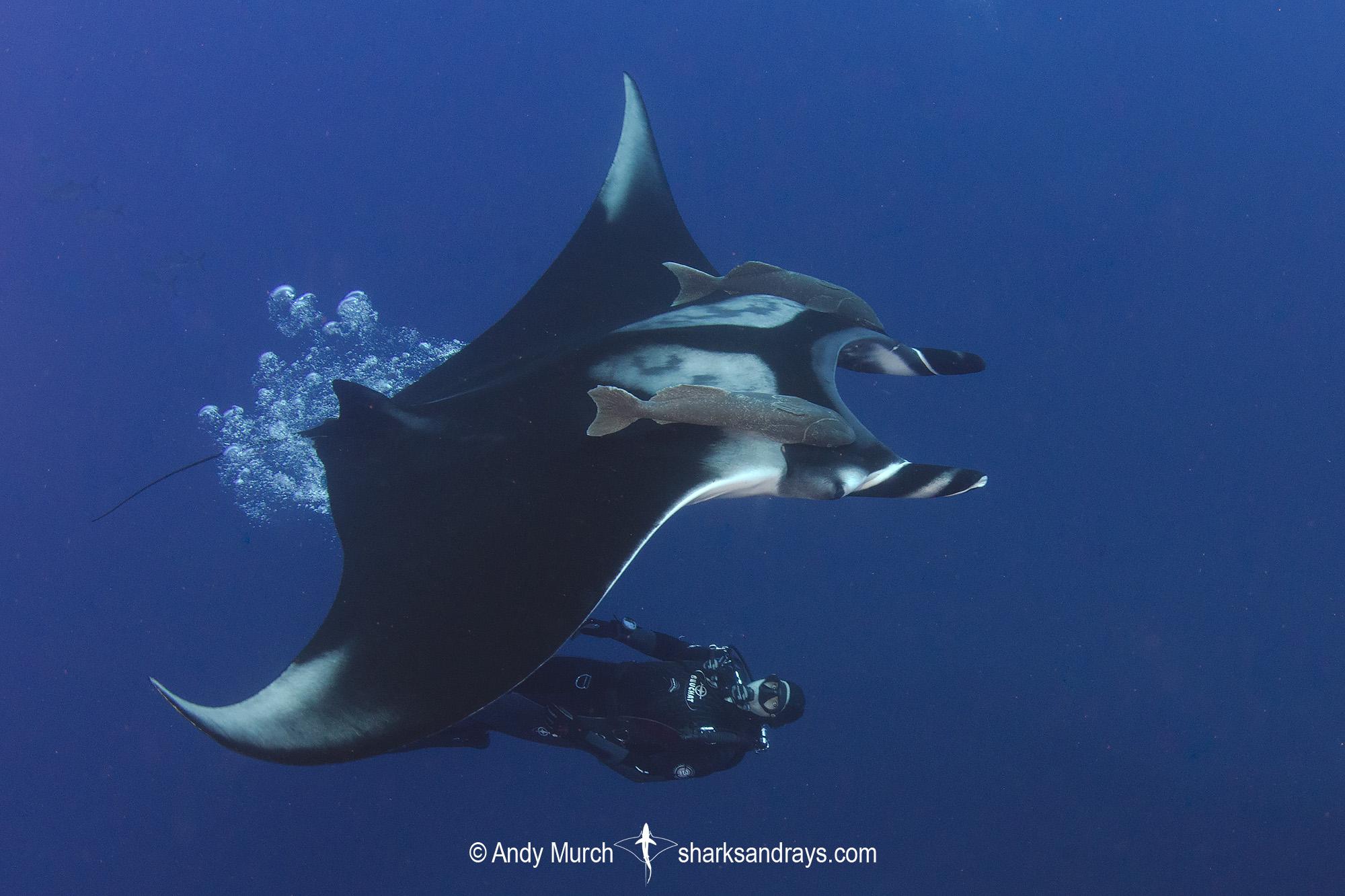 Oceanic Manta Ray