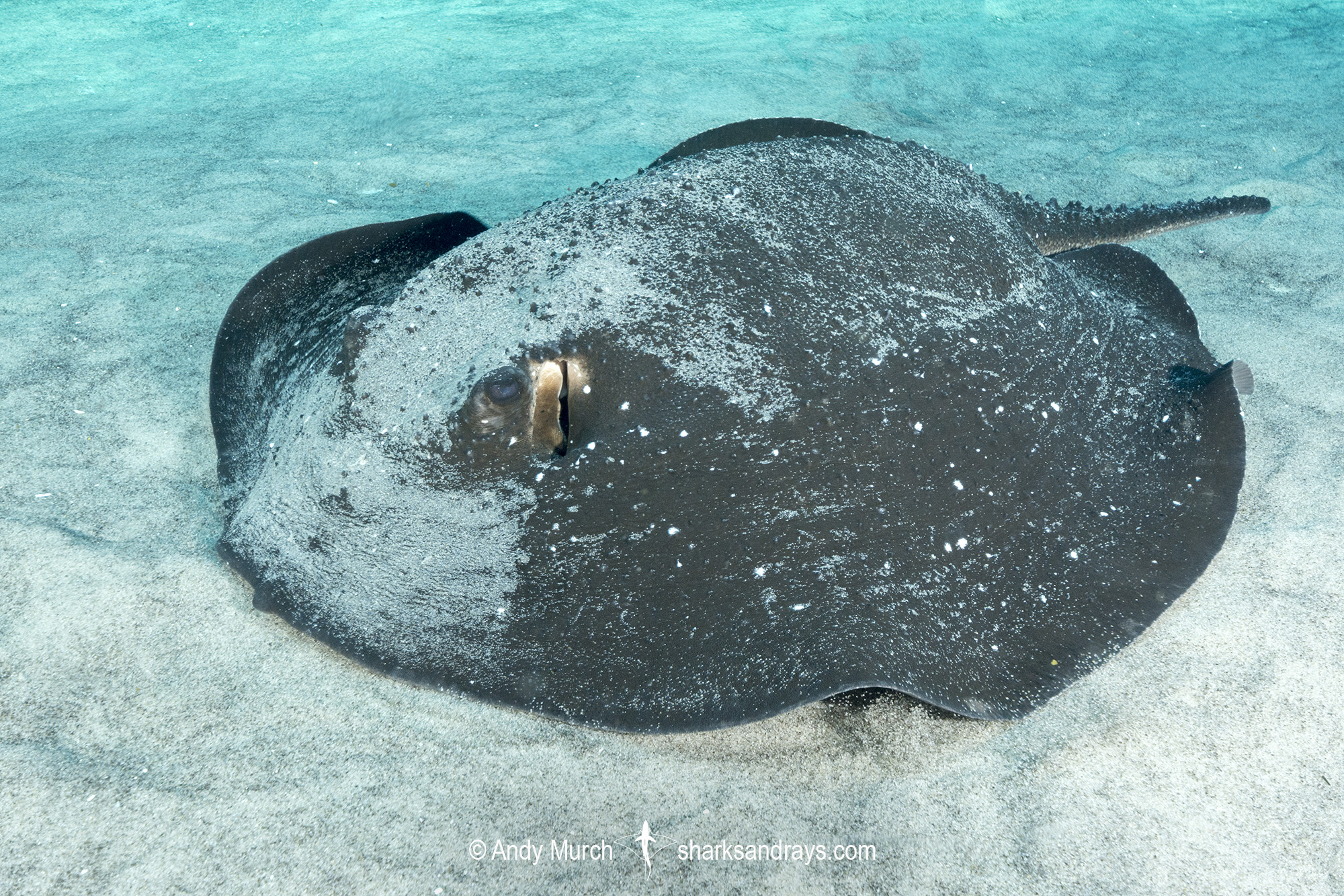 Porcupine Whipray