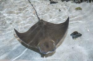 Atlantic Cownose Ray