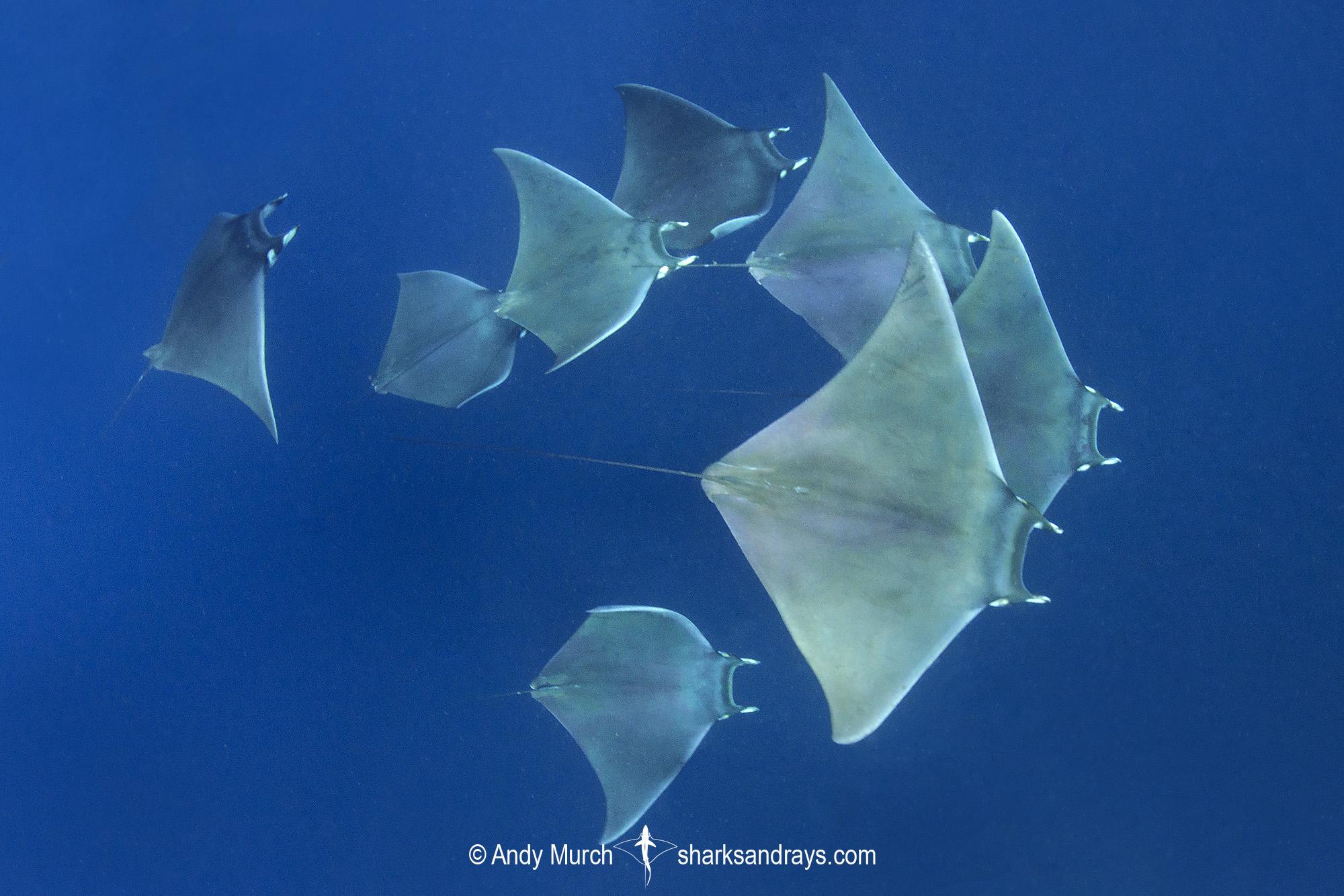 Atlantic Mobula Ray