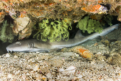Brownbanded Bamboo Shark