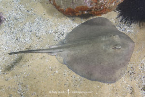 Eastern Shovelnose Stingaree
