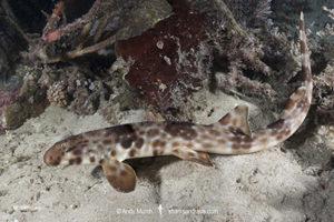 Halmahera Epaulette Shark