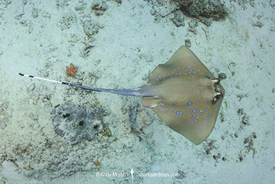 Oriental Bluespotted Maskray