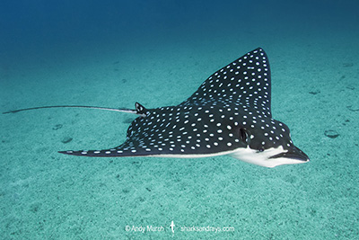 Pacific Eagle Ray