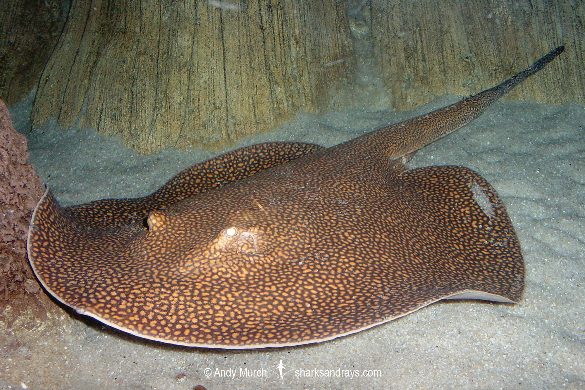 Reticulated Freshwater Stingray