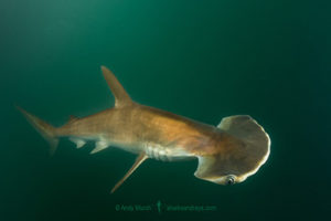 Scoophead Shark