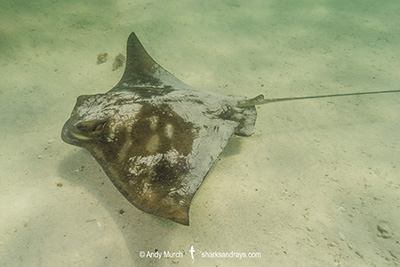Southern Eagle Ray