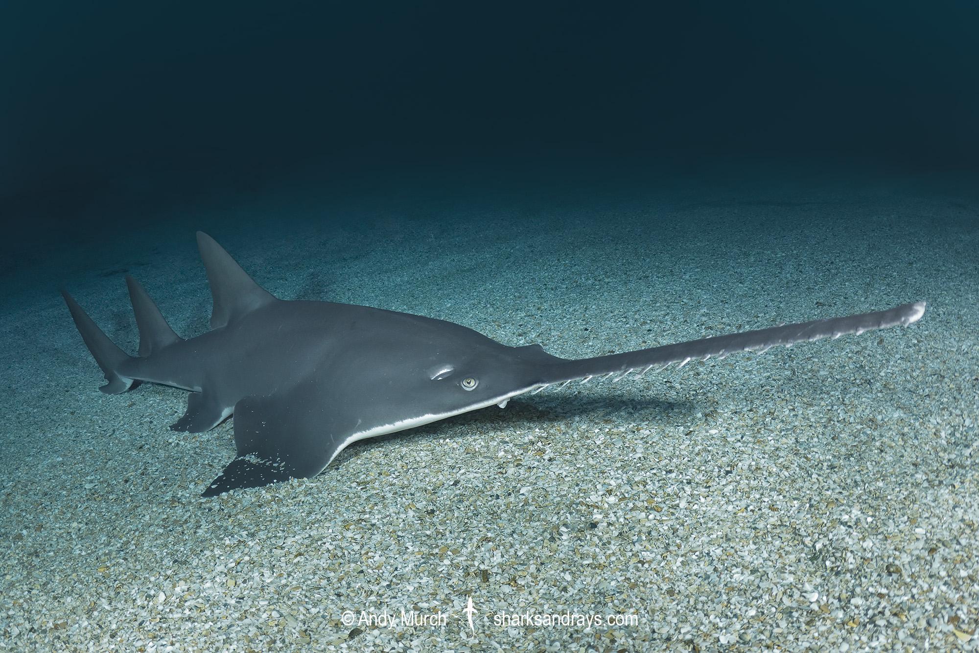 Largetooth Sawfish