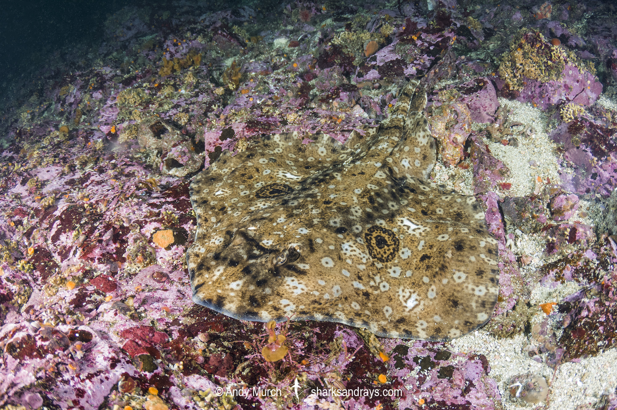 Pacific Starry Skate