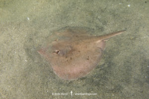Rogers' Round Ray