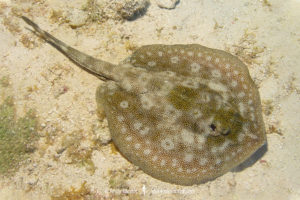 Yellow Spotted Stingray