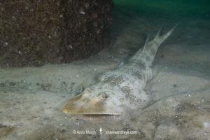 Atlantic Guitarfish