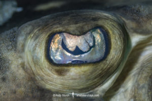 Banded Guitarfish Eye
